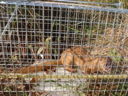 ネッツ-捕獲罠による哺乳類調査カゴ罠